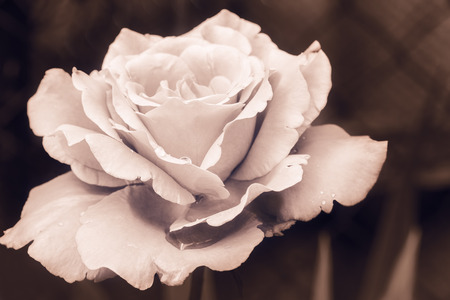 Inflorescence of a rose with water drops, photo tinted. Selective focus Stock Photo