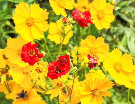 Red flowers of the Chilean avens and yellow flowers coreopsis in the flowerbed in the garden on a summer day, close-up Stock Photo