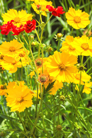 Red flowers of the Chilean avens and yellow flowers coreopsis in the flowerbed in the garden on a summer day