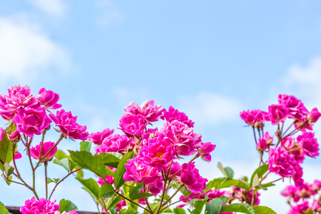 Flowers pink climbing rose on the background of blue sky with white clouds Stock Photo