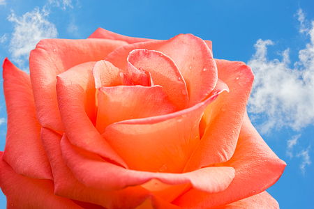 Orange rose with water drops on the background of blue sky with white clouds, macro