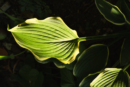 Hostas leaves, illuminated by ray of sunshine on a dark background, close-up Stock Photo