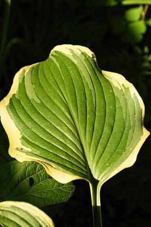 Hostas leaves, illuminated by ray of sunshine on a dark background, macro