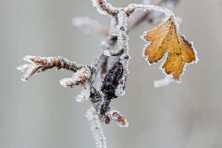 Ice-covered branch of a currant with a black berry and yellow leaf on a cloudy winter day, close-up. Selective focus, the background is blurred