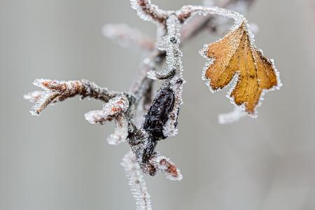 Eisbedeckte Niederlassung einer Korinthe mit einer schwarzen Beere und einem gelben Blatt an einem bewölkten Wintertag, Nahaufnahme. Selektiver Fokus, der Hintergrund ist verschwommen