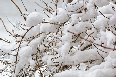 Snow-covered branches close-up on a cloudy winter day. Selective focus