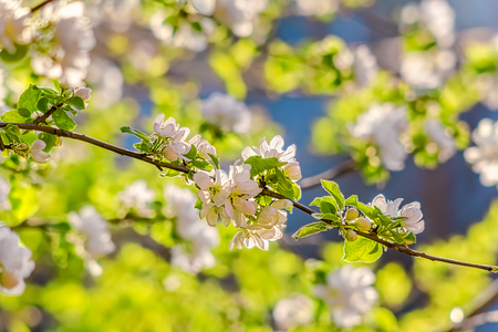 Flowering branch of apple-tree in a spring orchard, backlit.  Selective focus