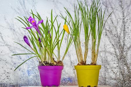 Crocuses in pots near the window on a rainy day Stock Photo
