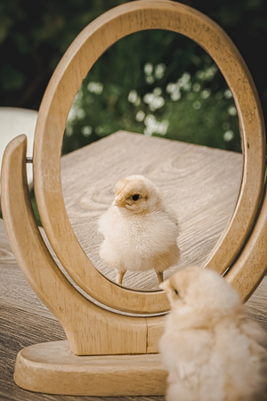Little fluffy yellow chicken stands on a wooden table in the garden and looks in the mirror. Focus on reflection in the mirror. Retro style