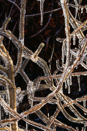 Icicles on the branches of the wild grapes after freezing rain on a winter day, close up