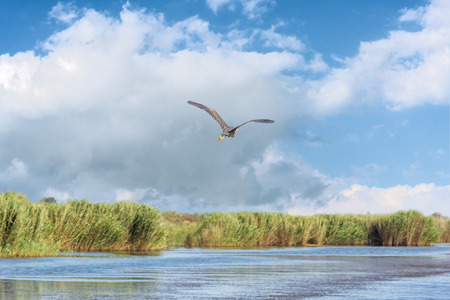 Purple Heron flies over the Azov wetlands against the blue sky with white clouds 스톡 콘텐츠