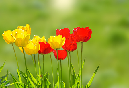 Yellow and red spring tulips close up on a sunny lawn, backlight Stockfoto