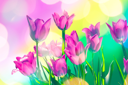Bright festive card with purple spring tulips in backlight, close-up. Selective focus