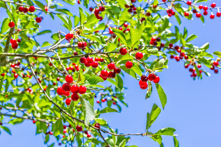 Ripe red cherries on a branch with green leaves against a blue sky, backlit. Selective focus