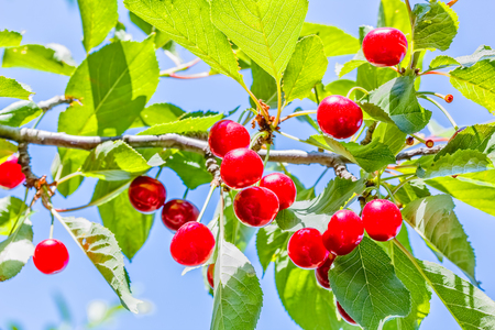 Ripe red cherries on a branch with green leaves on blurred background, close-up. Selective focus