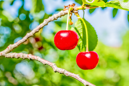 Two ripe red cherries on a branch with green leaves on blurred background, macro. Selective focus Reklamní fotografie