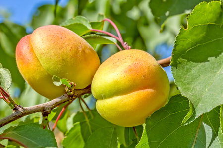 Two yellow ripe apricots on a branch among green leaves in the orchard on a sunny summer day, close-up