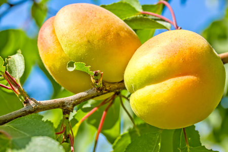 Two yellow ripe apricots on a branch among green leaves in the orchard on a sunny summer day, macro