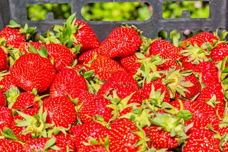 Crop ripe fresh red strawberries in a black plastic box in the garden, macro