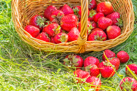 Overturned basket with red ripe strawberries in a green grass, close-up
