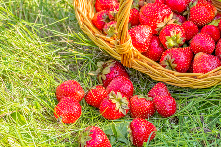 Overturned basket with red ripe strawberries in a green grass, macro