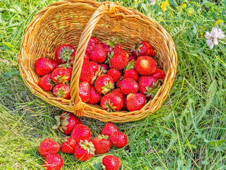 Overturned basket with red ripe strawberries in a green grass Reklamní fotografie