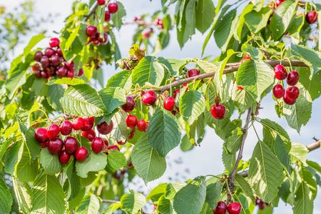 Red ripe berries of sweet cherry on a branch in a summer garden on background of green leaves and blue sky