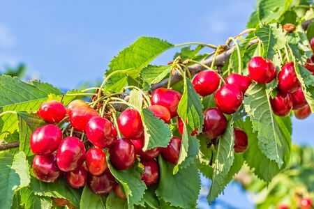 Red ripe berries of sweet cherry on a branch in a summer garden on background of green leaves and blue sky, close-up Reklamní fotografie