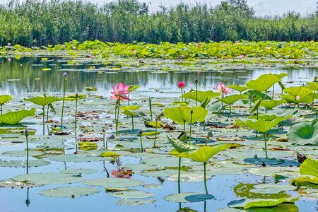 Lake with beautiful blooming pink indian lotuses on a sunny summer day