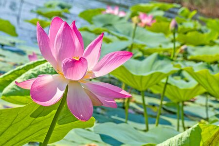 Pink Indian lotus on the lake on a sunny summer day, close-up Reklamní fotografie