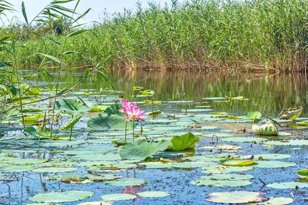 Lake with beautiful blooming pink indian lotuses among the reeds on a sunny summer day