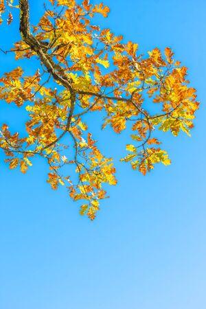 Yellow autumn oak branch against a cloudless blue sky