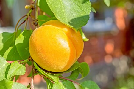 Orange apricot on a branch among green leaves in the orchard on a summer day, macro Reklamní fotografie