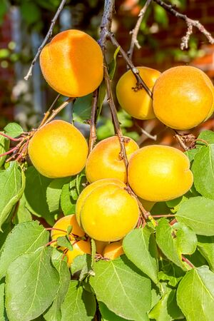 Orange apricots on a branch among green leaves in the orchard on a summer day