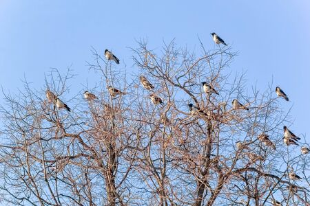 Flock of crows on the branches of trees on a winter day against the blue sky Reklamní fotografie
