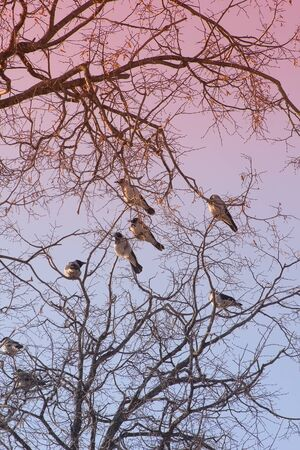 Flock of crows on the branches of trees on a spring day against the sky, toned