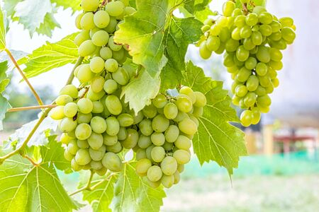Grapevine with leaves and a brush of grapes on a blurred background, close-up