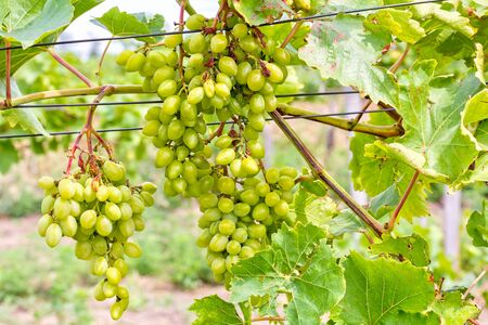 Grapevine with leaves and a brush of grapes in the vineyard, close-up