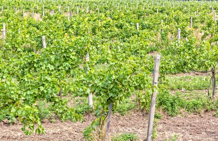 Vineyard with ripening bunches of white grapes on a summer day
