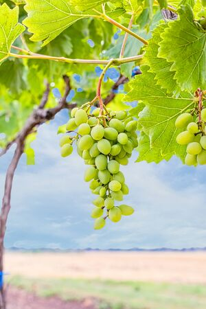 Grapevine with leaves and a brush of grapes on a background of field and blue sky