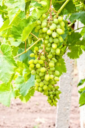 Grapevine with leaves and ripening bunch of grapes on a blurred background, close-up