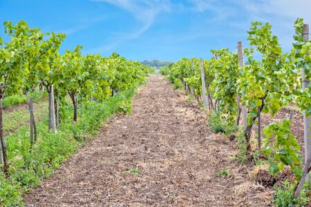 Green vineyard with ripening bunches of white grapes against a blue sky 写真素材