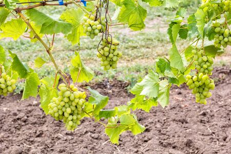 Grapevine with leaves and ripening bunches of white grapes on a blurred background