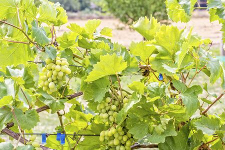 Grapevine with leaves and ripening bunches of grapes on a blurred background