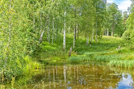 Picturesque landscape with sunny birch grove, green grass and reflection in the pond on a summer day