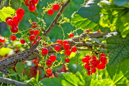 Red ripe currants berries in a back light, close-up. Selective focus