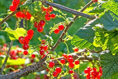 Red ripe currants berries on a twig in a back light, close-up. Selective focus