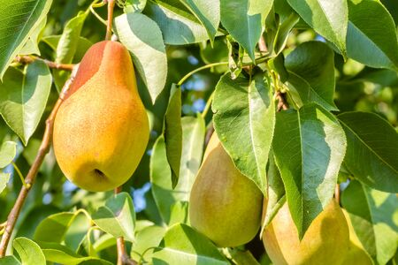 Ripe juicy pears on a branch in the autumn sunny garden, close-up