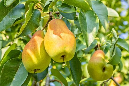 Ripe juicy yellow pears on a branch in the autumn sunny garden, close-up