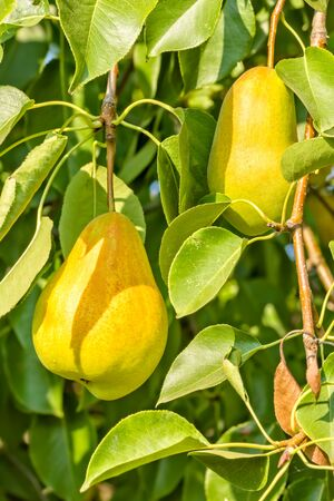 Ripe yellow pears on a branch in the autumn sunny garden 写真素材